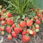 37 лучших сортов садовой земляники крупноплодные новые для Урала и другие