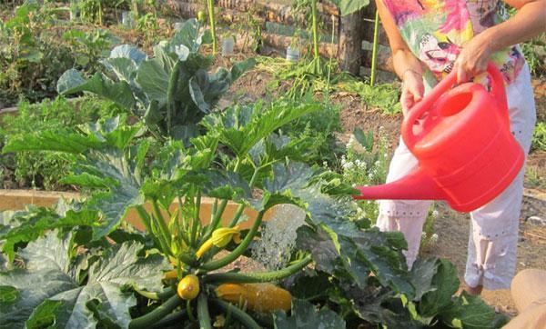 Посадка кабачков семенами в открытый грунт в донецкой области