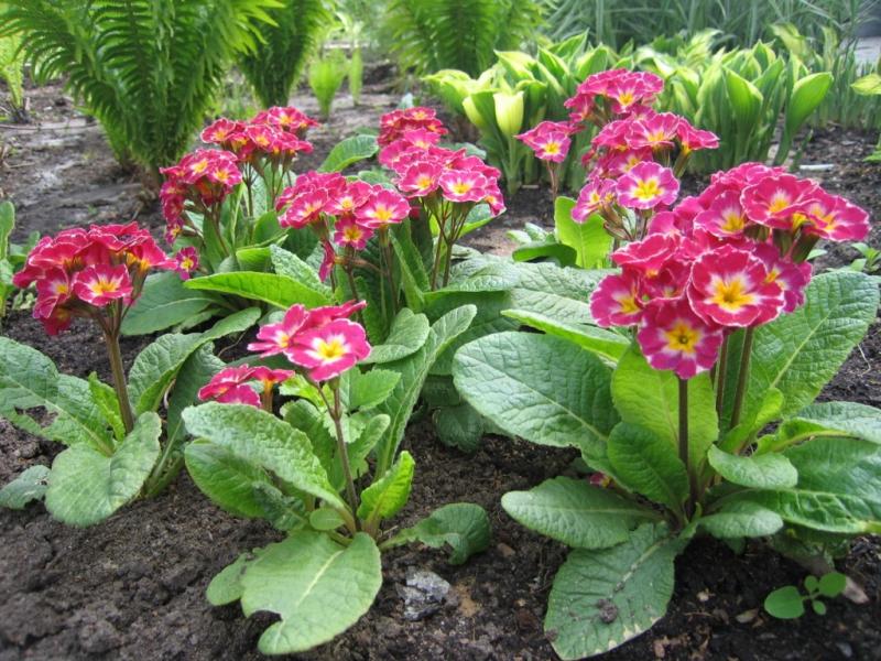 примула многолетняя посадка семенами весной на рассаду