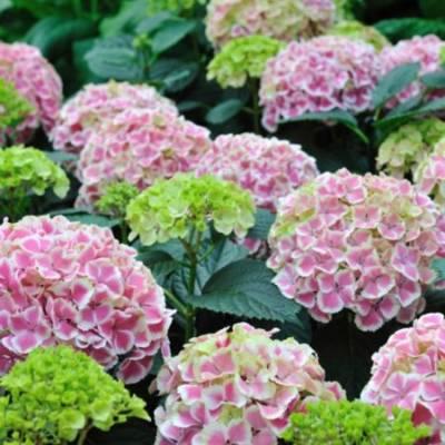 pp_image_13973_xclhadrdatgortenziya-hydrangea-macrophylla-peppermint-600x600.jpg